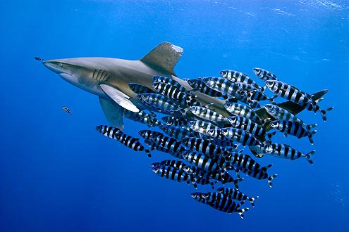 Oceanic whitetip shark among friends